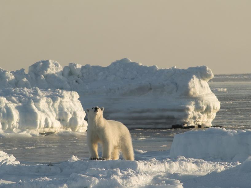 новости ради белого медведя нонче видео